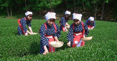 チャレンジ茶摘み体験<春>※要予約