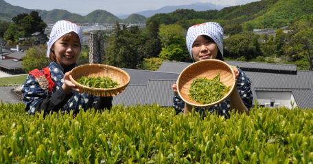 2020年春チャレンジ茶摘み体験